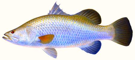 Tehnik Dasar Mancing Ikan Kakap Putih (Barramundi)  Home